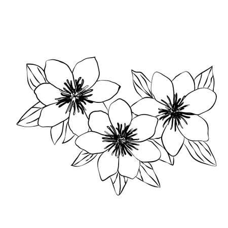 Beautiful clematis black white isolated sketch Ilustração