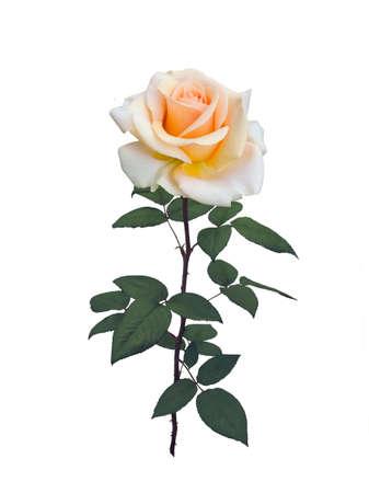 beautiful yellow rose Stok Fotoğraf - 104215221