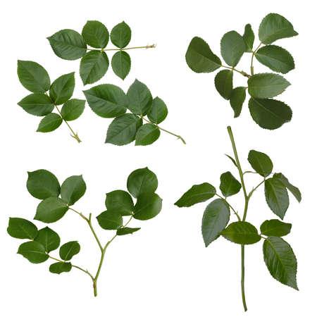 Groen nam bladeren op wit worden geïsoleerd dat toe