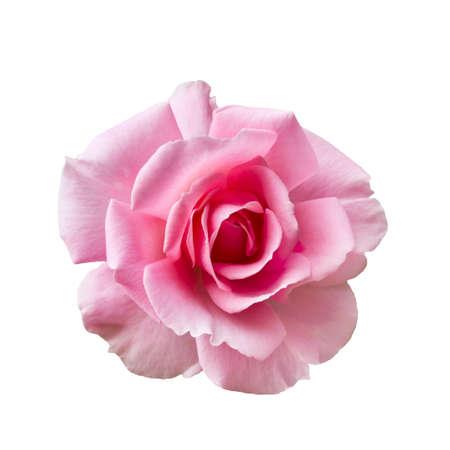 Fresh beautiful pink rose isolated on white background Stockfoto