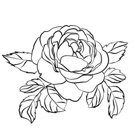 Rosenskizze auf weißem Hintergrund