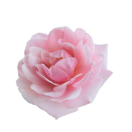 Frische schöne rosa Rose isoliert auf weißem Hintergrund Standard-Bild
