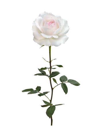 belle rose blanche aux feuilles vertes Banque d'images