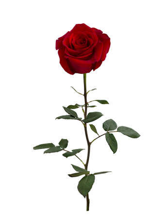 Dark red rose with green leaves