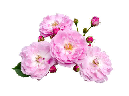 Delicate pink roses with green leaves