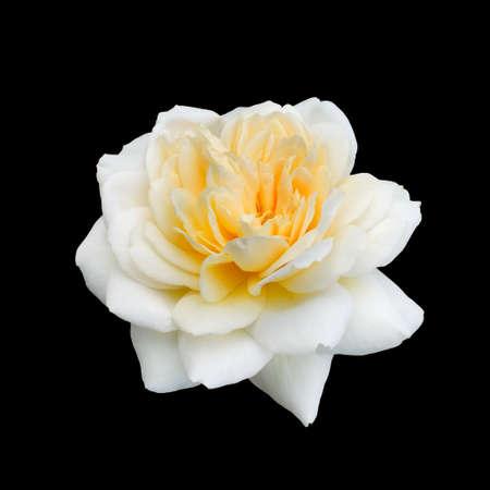 beautiful white rose