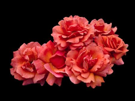 Scarlet rose flowers arrangement isolated on black background