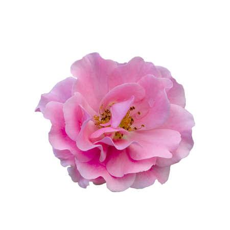 Fresh beautiful pink rose isolated on white background 版權商用圖片