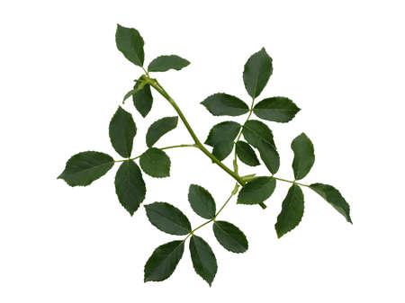 Green rose leaves isolated on white background 版權商用圖片