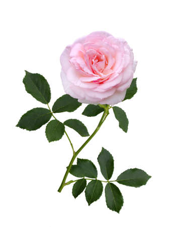 Delicate pink rose with green leaves isolated on white background