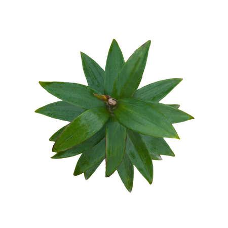 Green leafs of lily 版權商用圖片