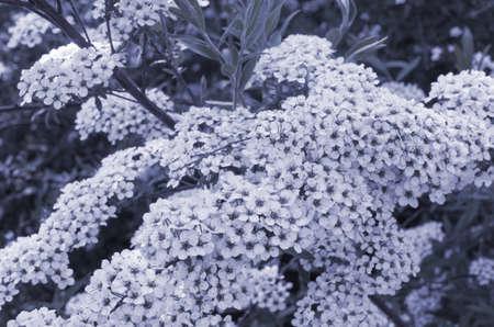 White Weigela flowers 版權商用圖片