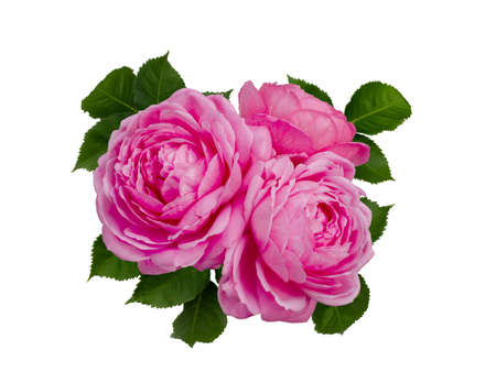 Delicate pink roses with a green leaves 版權商用圖片