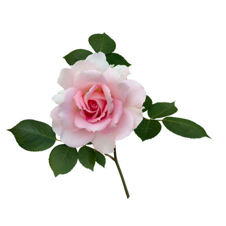Pink rose with green leaves isolated on white background