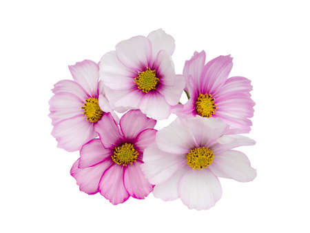 Pink cosmos flower isolated on white background 版權商用圖片