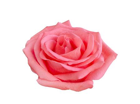 Fresh beautiful pink rose isolated on white 版權商用圖片