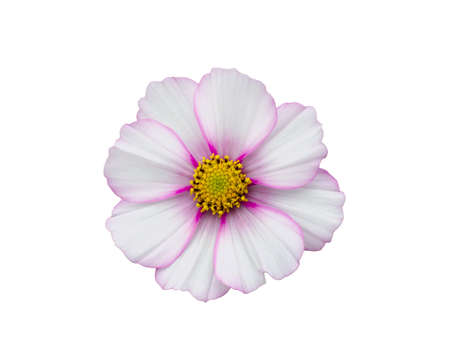 White with pink rim Colored Cosmos Flower Isolated on White Background. 版權商用圖片