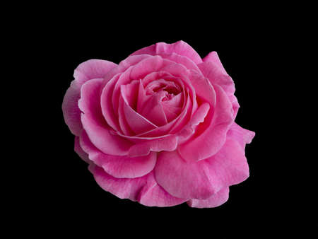 Pink rose isolated on a black background 版權商用圖片