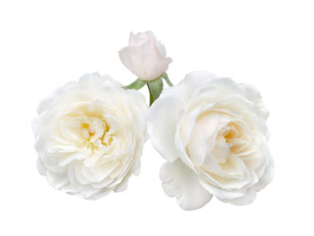 beautiful bouquet of white roses