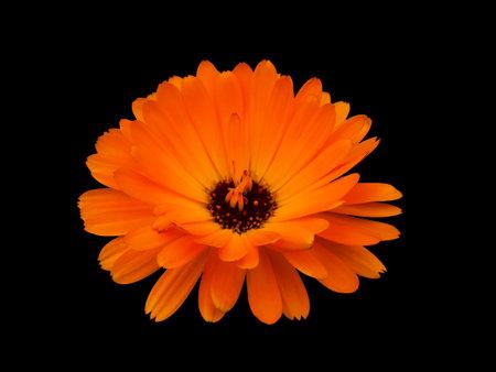 Flower Marigold (Calendula Officinalis) Isolated. Flower on black background.