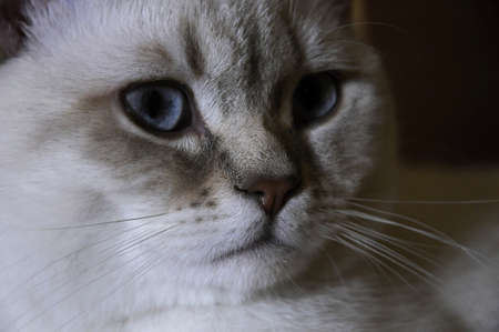 banter: british cat white color point with blue eye Rare coloring a silver Stock Photo