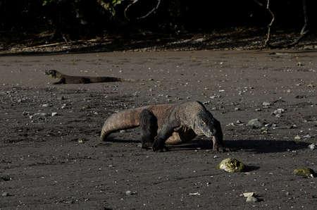 komodo island: two dragons Komodo island national park in Indonesia live dragon