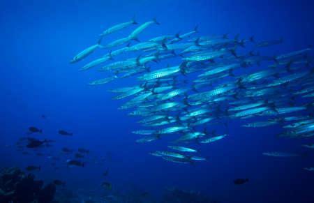 fish school: Coral reef and barracuda school on Komodo Islands in Indonesia