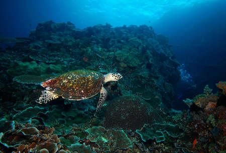 komodo island: Turtle, coral reef, diving Indian ocean and Komodo Islands Stock Photo