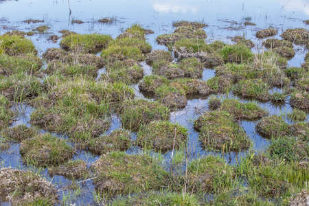 water grass: beams of green grass on the water, grass on the marsh Stock Photo