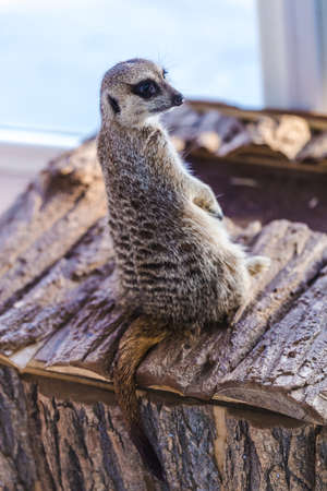 portrait of a lonley meerkat in the terrarium, an animal on two legs, back view Stock Photo