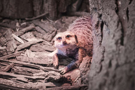 portrait of a lonley meerkat in the terrarium, a frightened animal hides behind a log