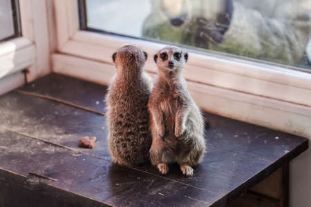 a pair of small meerkats with a curious look, amicably studying the visitors of the zoo Stock Photo
