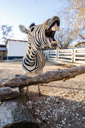 portrait of a funny laughing zebra with an open mouth reaching the viewer