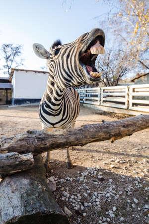 Portret van een grappige lachende zebra met een open mond die de kijker bereikt Stockfoto