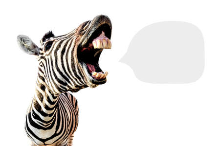 zebra with open mouth and big teeth, isolated on white background and with place for text
