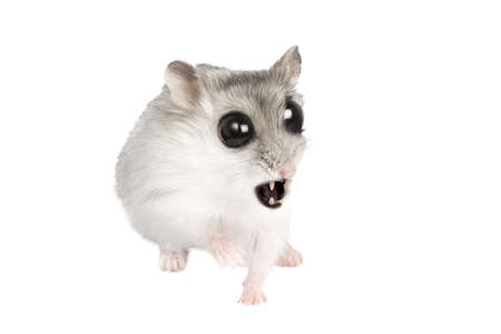 mouse vampire with fangs and big eyes in horror, prepare to defend, background image