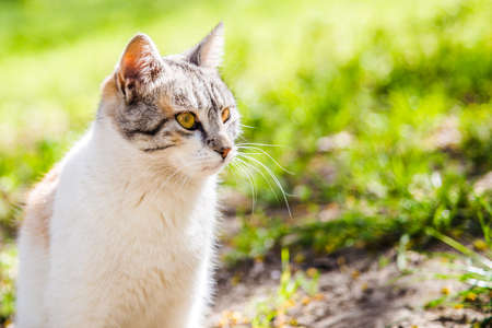 beautiful gray white cat looking to the side sitting on the ground