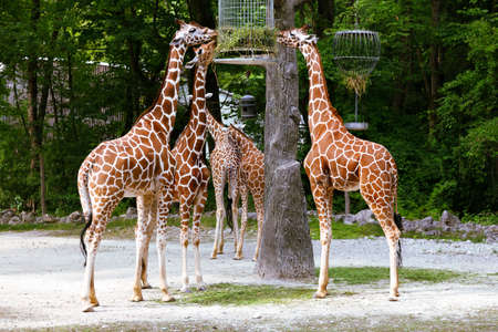Group of feeding giraffes in the zoo