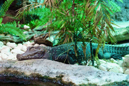sad crocodile lying on the floor in a terrarium 写真素材 - 132817594