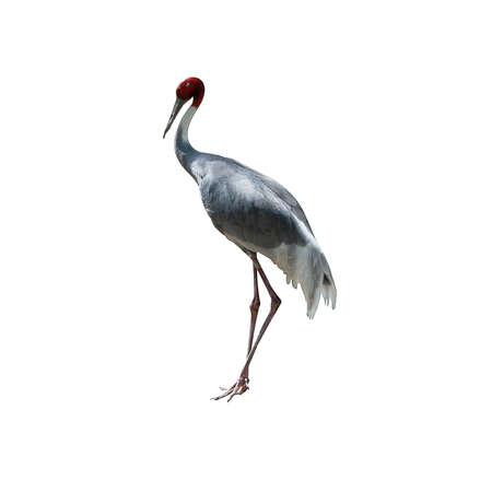 sarus crane isolated on white background