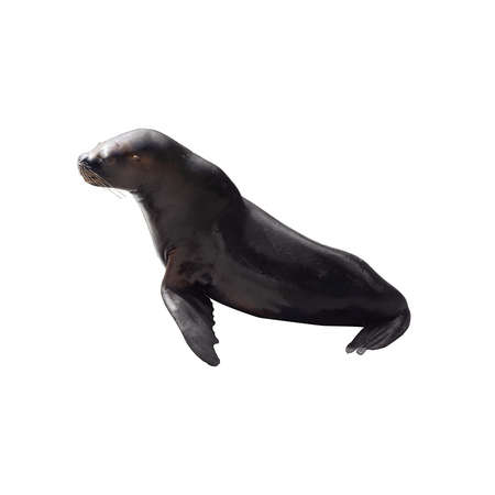 Sea Lion isolated on white background 写真素材