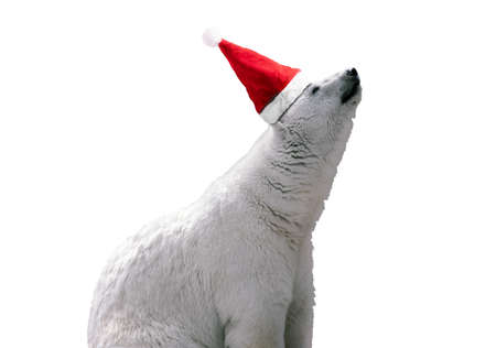 White polar bear in red Santa hat. Isolated on white background, merry christmas concept