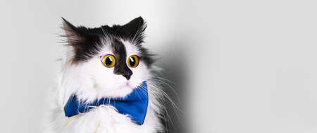 surprised funny cat with big eyes and  a bowtie on a grey   background, panoramic mock-up with space for text 写真素材