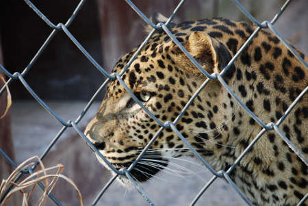 jailed: sad lonely leopard in zoo prison Stock Photo