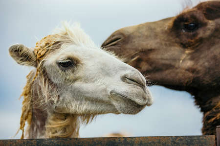 Portraits of camel scouple kissing. Two camels portrait.