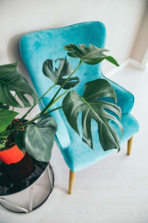 Cropped frame of minimal interior, blue armchair, monstera plant on glass table. Upper view.