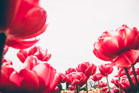 Red peony tulip flowers on white isolated  background.