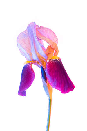 Vivid neon colored iris flower bud on isolated background.