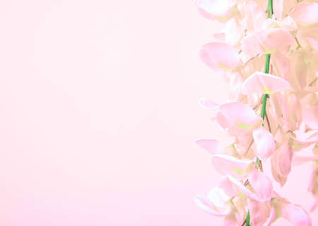 Pink wisteria bunch flower on beige background. Toned shoot. Imagens