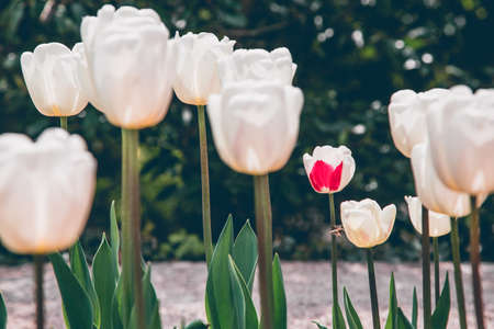 White tulip bio selected flowers  and one of them ith red spot, selection error.